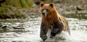 Project image thumbnail for Grizzly bear trophy hunt engagement